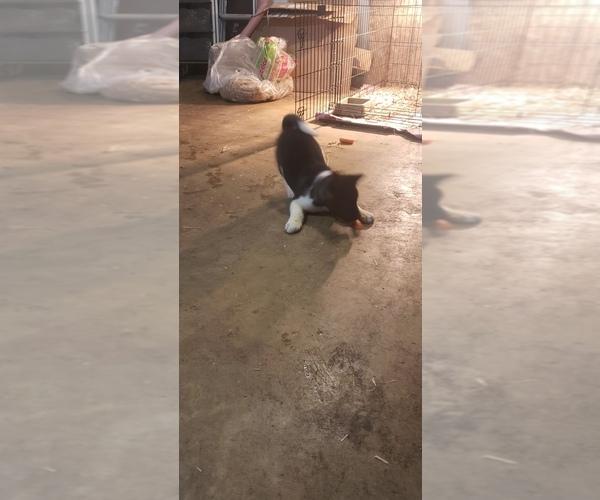 Medium Photo #5 Akita Puppy For Sale in MEM, TN, USA