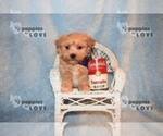 Small #12 Maltipoo-Poodle (Toy) Mix