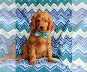 Goldendoodle Puppy for sale in LINCOLN UNIV, PA, USA