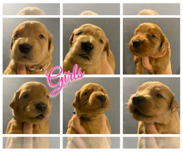 PuppyFinder com - View Ad: Photo #23 of Listing Golden