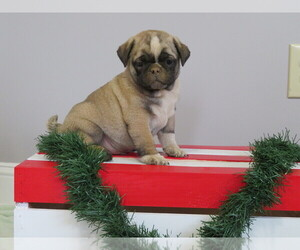 Jug-Pug Mix Puppy for Sale in MOUNT SOLON, Virginia USA