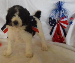 Poodle (Standard) Puppy for Sale in INDEPENDENCE, Missouri USA