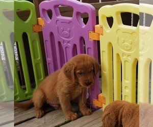Golden Retriever Puppy for sale in MECHANICSBURG, OH, USA