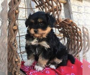 Australian Shepherd-Poodle (Miniature) Mix Dog for Adoption in MORGANTOWN, Pennsylvania USA