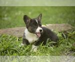 Puppy 6 Pembroke Welsh Corgi