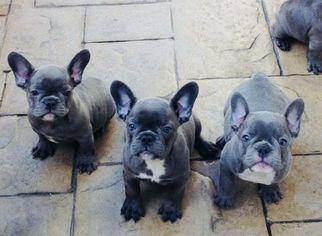 French Bulldog Puppy For Sale in SCOTTSDALE, AZ, USA