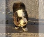 Small #1 Sheepadoodle
