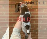 Small #26 German Shorthaired Pointer