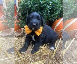 Labradoodle Puppy for Sale in CUMB GAP, Tennessee USA