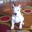 Small Photo #167 Dogo Argentino Puppy For Sale in PINEVILLE, MO, USA