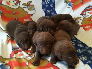 Labrador Retriever Puppy for sale in FREEPORT, MN, USA