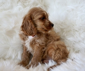 Cavapoo Puppy for Sale in LAVEEN, Arizona USA