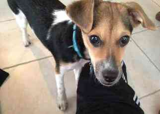 Jack Russell Terrier Dog For Adoption in SILVER SPRING, MD, USA