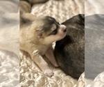 Small Photo #13 Wolf Hybrid Puppy For Sale in FILLMORE, LA, USA