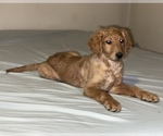 Small #22 Goldendoodle-Poodle (Standard) Mix