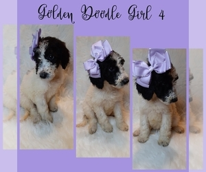 Goldendoodle-Poodle (Standard) Mix Puppy for sale in INDIANAPOLIS, IN, USA