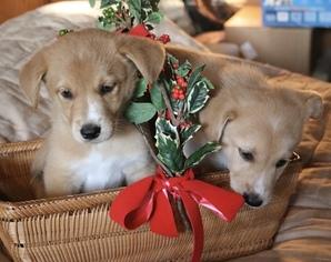Borador Puppy For Sale in PACIFIC GROVE, CA, USA