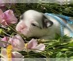 Small #13 Bullhuahua-Chihuahua Mix