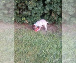 Small #14 German Shorthaired Pointer