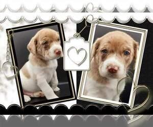 Australian Shepherd-Lab-Pointer Mix Puppy for sale in MILLVILLE, MN, USA