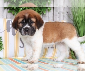 Ba-Shar Puppy for sale in MOUNT VERNON, OH, USA