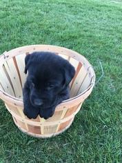 Labrador Retriever Puppy For Sale in EDMORE, MI