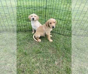 Labrador Retriever Puppy for Sale in FINLAYSON, Minnesota USA