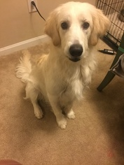 Goldendoodle Dogs for adoption in OOLTEWAH, TN, USA