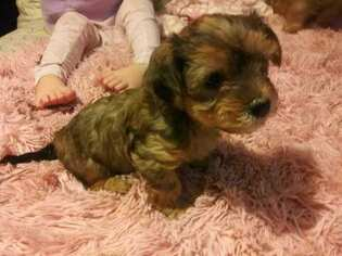 View Ad Morkie Yorkshire Terrier Mix Puppy For Sale Wisconsin