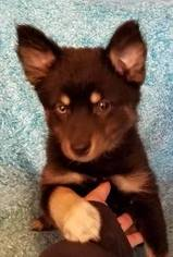 Puppyfinder com: Pomsky puppies puppies for sale near me in