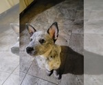 Puppy 2 Australian Cattle Dog