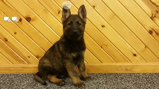 German Shepherd Dog Puppy For Sale in MILLERSBURG, OH