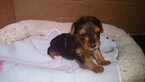 Poodle (Toy)-Yorkshire Terrier Mix Puppy For Sale in ORLANDO, FL, USA