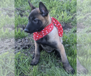 Belgian Malinois Puppy for Sale in CONESUS, New York USA