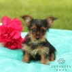Yorkie-Poo Puppy For Sale in GAP, PA