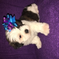 Mal-Shi Puppy For Sale in CLAY CITY, KY, USA