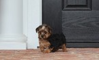 Morkie Puppy For Sale in BONHAM, TX, USA