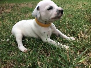 Dalmatian Puppy For Sale in GARBER, OK, USA