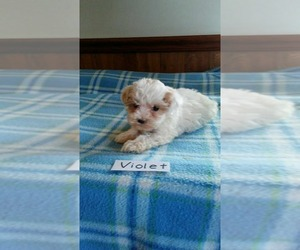Maltipoo Dog for Adoption in CLARKRANGE, Tennessee USA