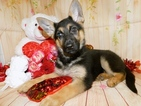 German Shepherd Dog Puppy For Sale in HAMMOND, IN, USA
