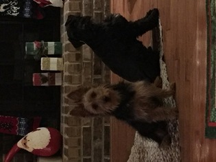 Australian Terrier Puppy For Sale in HOLLY POND, AL, USA