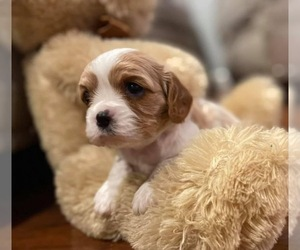 Cavalier King Charles Spaniel Puppy for sale in TAYLOR, MI, USA