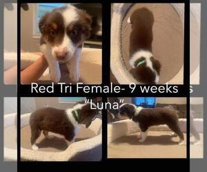 Australian Shepherd Puppy for Sale in DRYDEN, Virginia USA