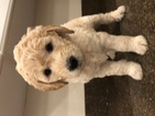 Goldendoodle Puppy For Sale in SAMMAMISH, WA