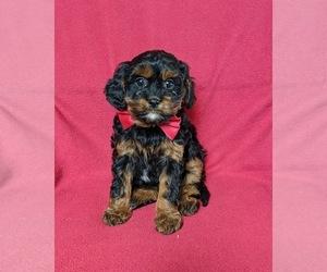 Cavapoo Dog for Adoption in NOTTINGHAM, Pennsylvania USA