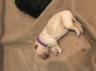 Double Doodle Puppy For Sale in PRINCETON, TX, USA