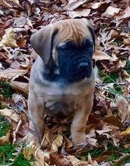 Boerboel Puppy For Sale in BURLINGTON, MA, USA