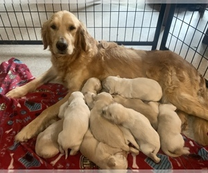 Golden Retriever Puppy for Sale in MORGANTOWN, Kentucky USA