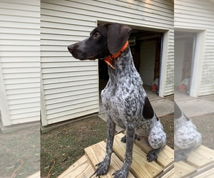 German Shorthaired Pointer Puppy for sale in DYERSBURG, TN, USA