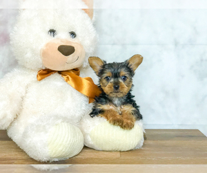 Yorkshire Terrier Puppy for Sale in CLEVELAND, North Carolina USA